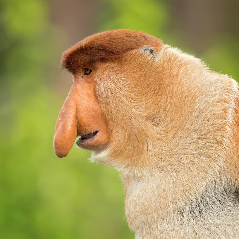 Nature Story: Proboscis monkey nose