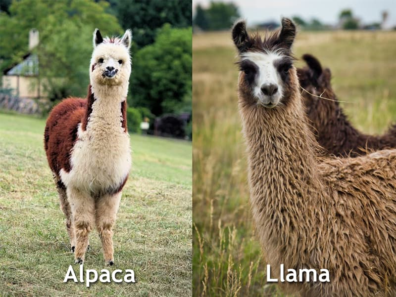 Nature Story: Alpaca vs llama difference