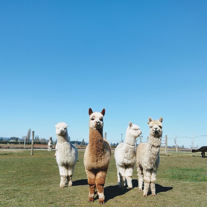 Nature Story: #10 Alpacas also live in groups and create some kind of a hierarchy to respect each other's personal space