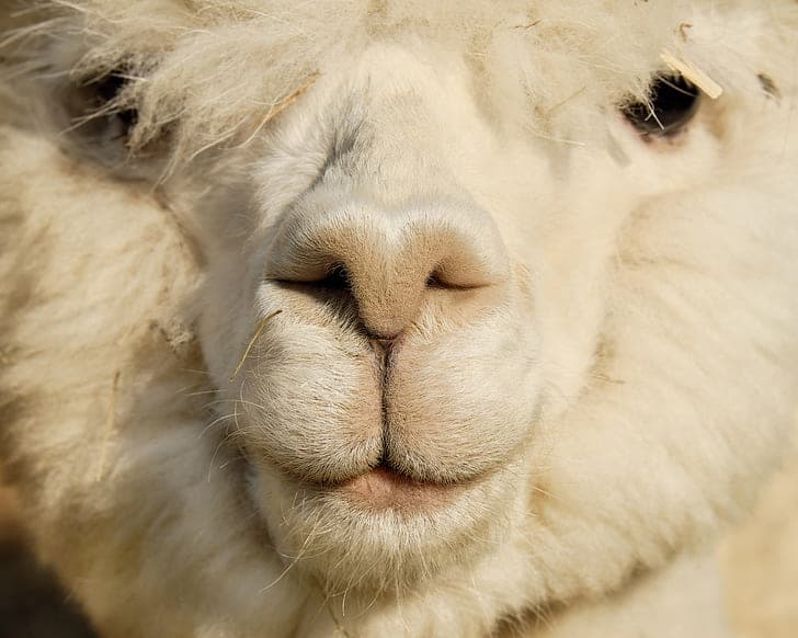 Nature Story: What year were llamas domesticated? When were alpacas domesticated?