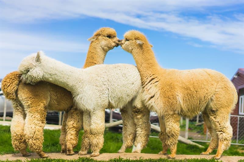 Nature Story: Llamas and alpacas biological family