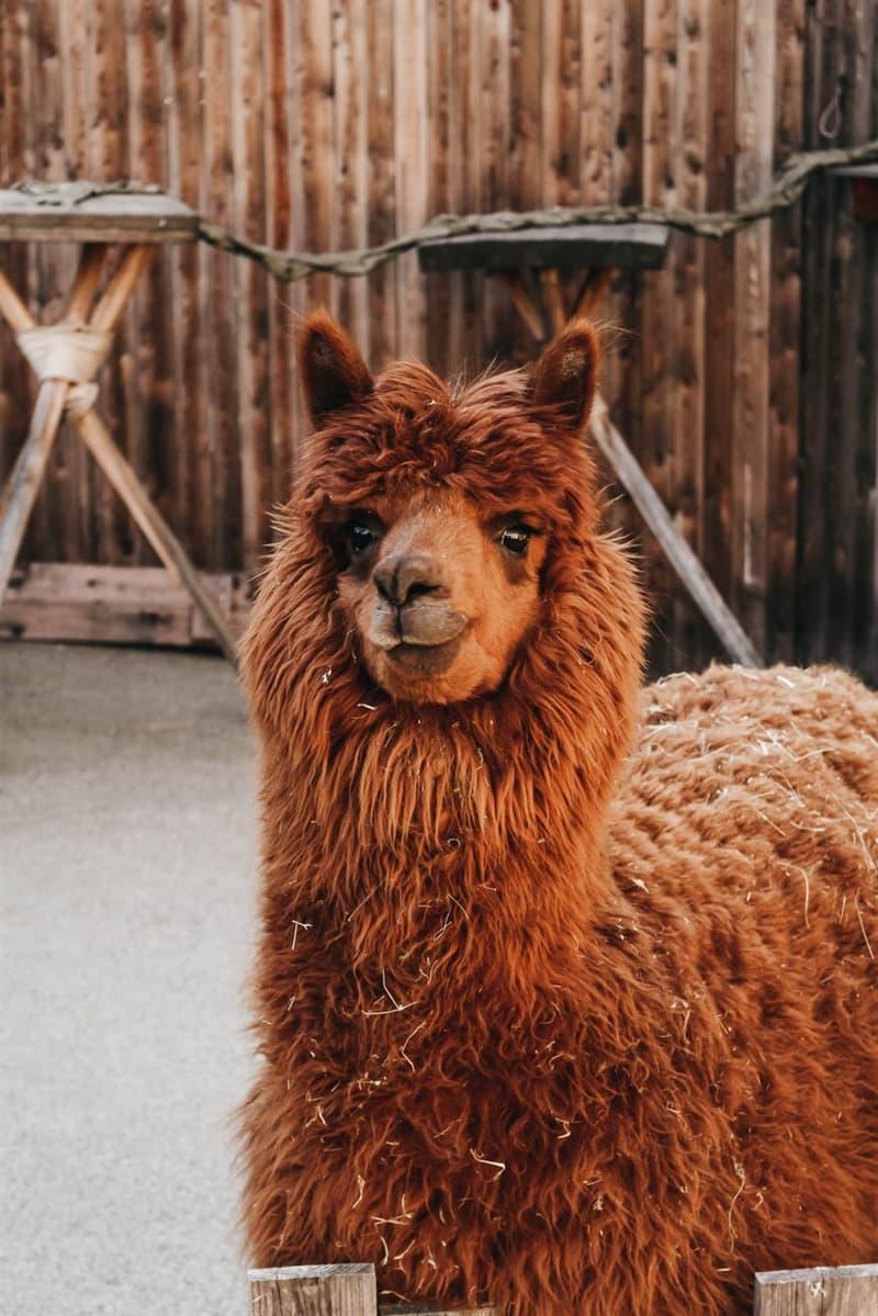 Nature Story: Alpaca facts