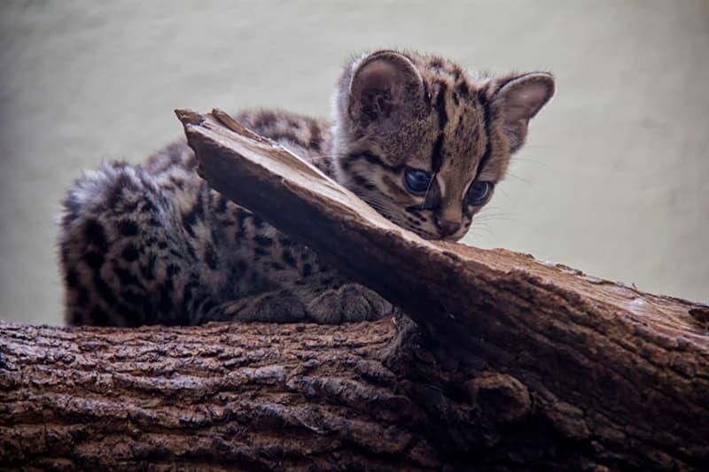 animals Story: Margay kitten