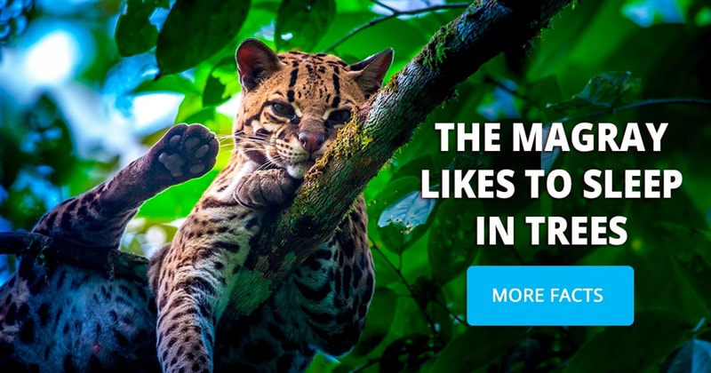 animals Story: These pictures of margays will melt your heart