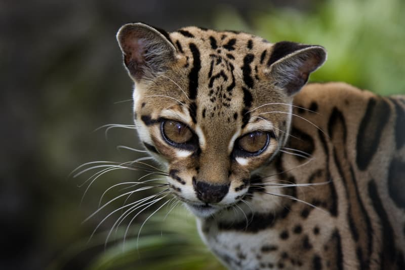 animals Story: Margay cat