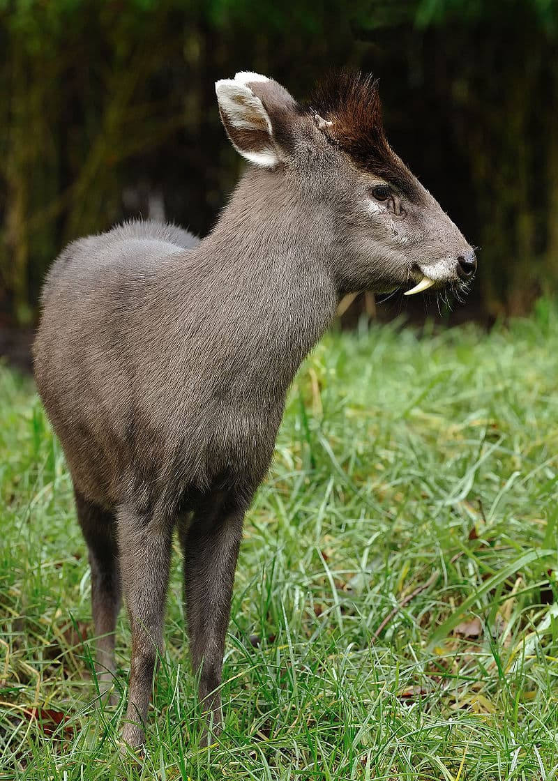 Nature Story: Tufted deer