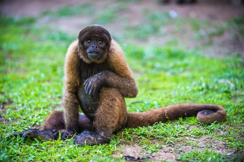 Nature Story: Yellow-tailed woolly monkey