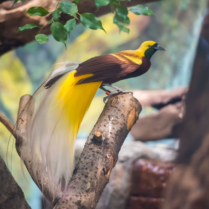 Nature Story: Birds of paradise