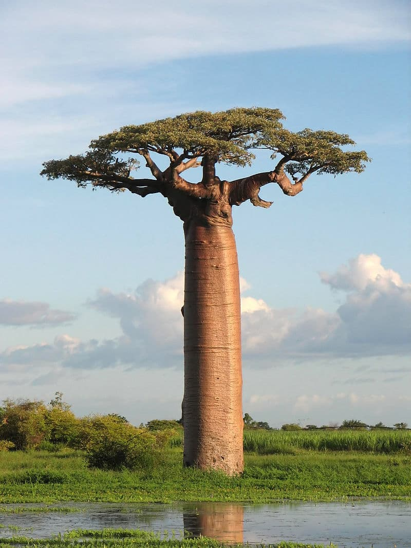 Geography Story: Baobab tree trunks water