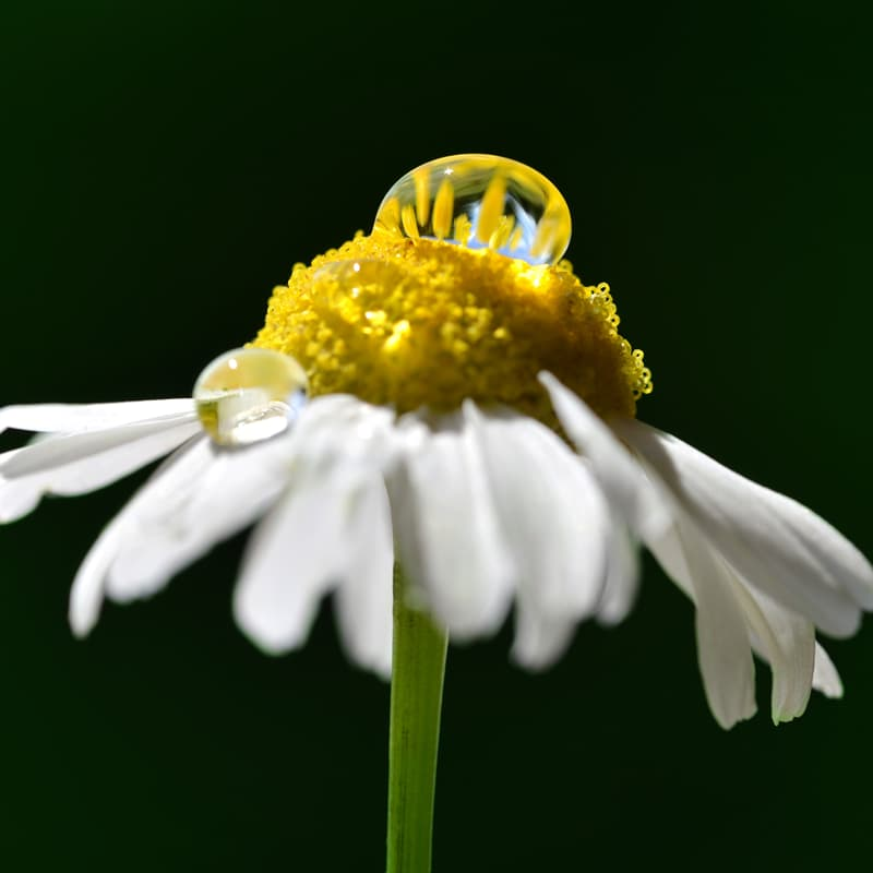 Nature Story: ​Macro photography water droplets on a chamomile