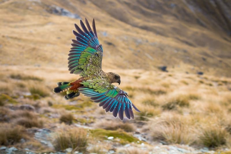 Nature Story: Kea parrot facts