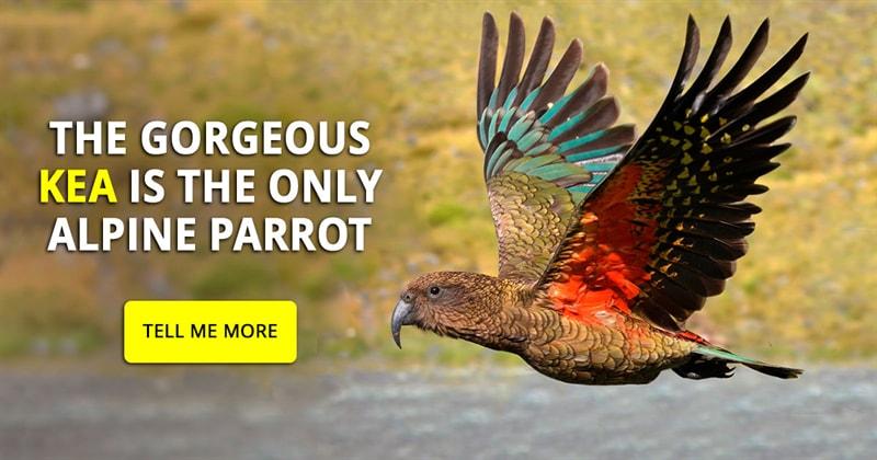 Nature Story: Gorgeous and  feisty - fantastic photos of the kea parrot