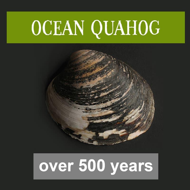Nature Story: ocean quahog lifespan