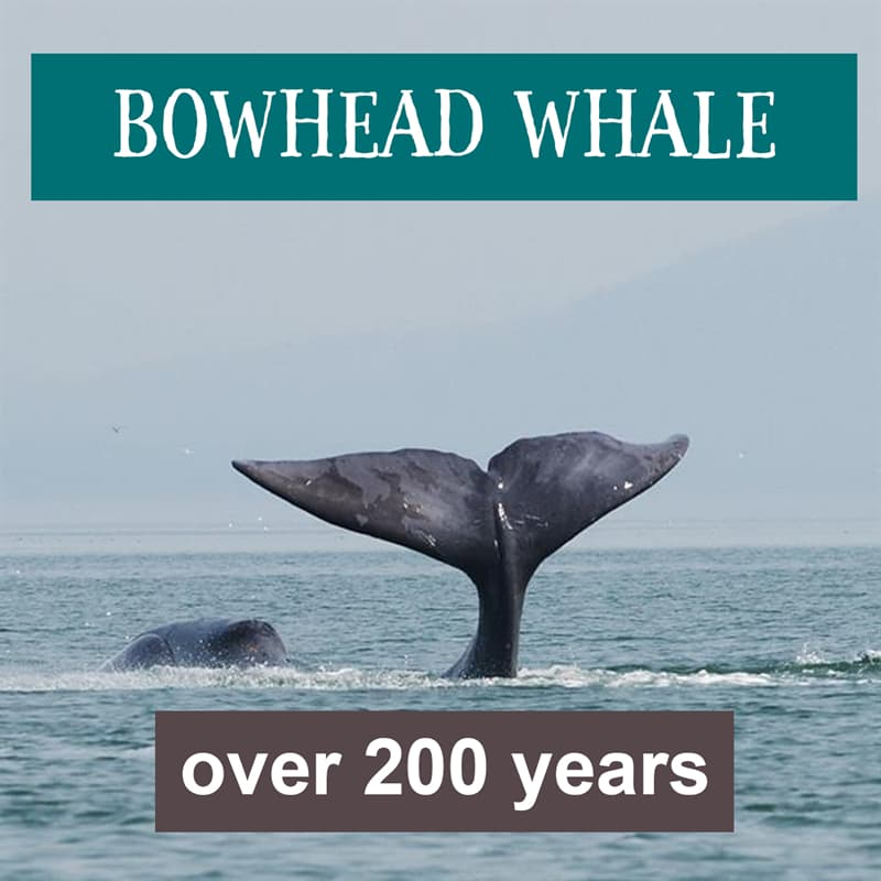Nature Story: bowhead whale lifespan