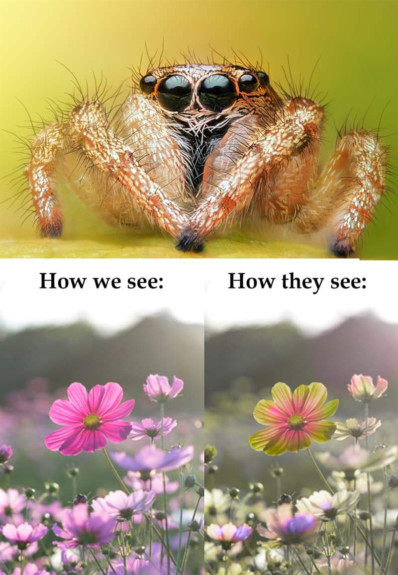 Nature Story: #3 Jumping spiders can see more colors than we do