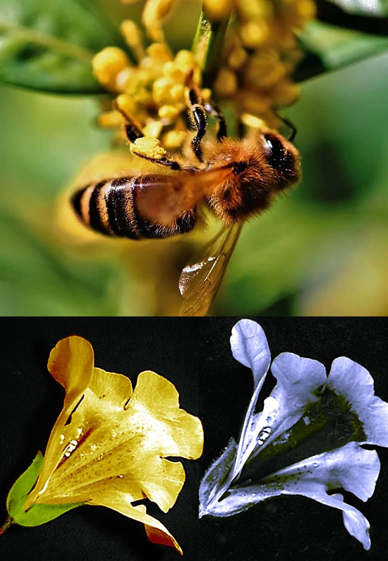 Nature Story: #5 Bees see maps hidden to human vision on petals