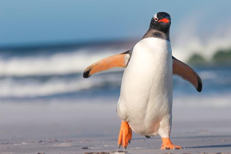 Society Story: Rockhopper penguins - penguins facts