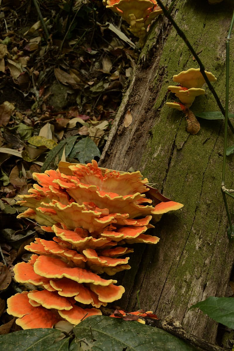 Science Story: #10 Chicken of the Woods