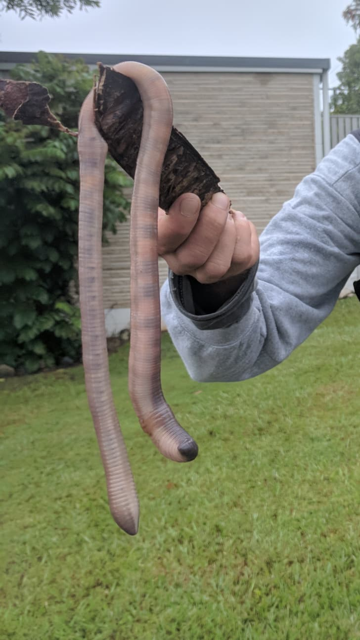 Nature Story: massive earthworm Australia chilling scary strange bizarre creatures australian animals insects koala facts photos