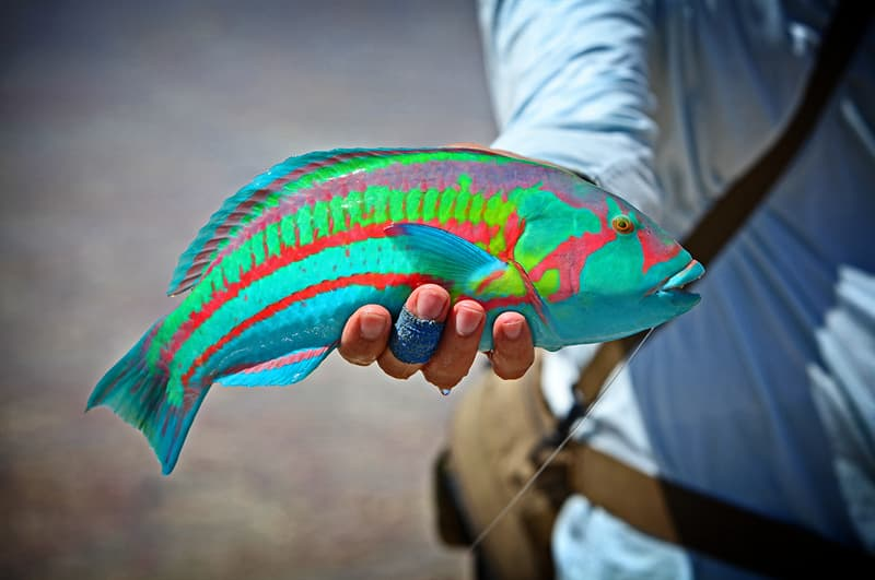 Nature Story: Rainbow Wrasse Christmas Island Australia chilling scary strange bizarre creatures australian animals insects koala facts photos