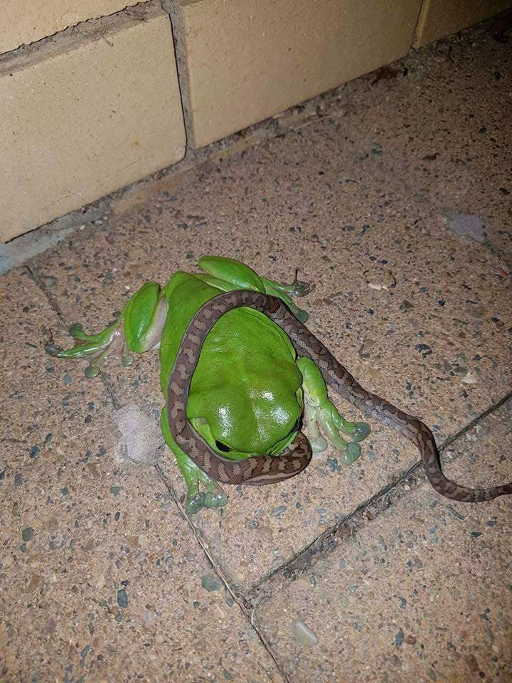Nature Story: frogs snakes Australia chilling scary strange bizarre creatures australian animals insects koala facts photos