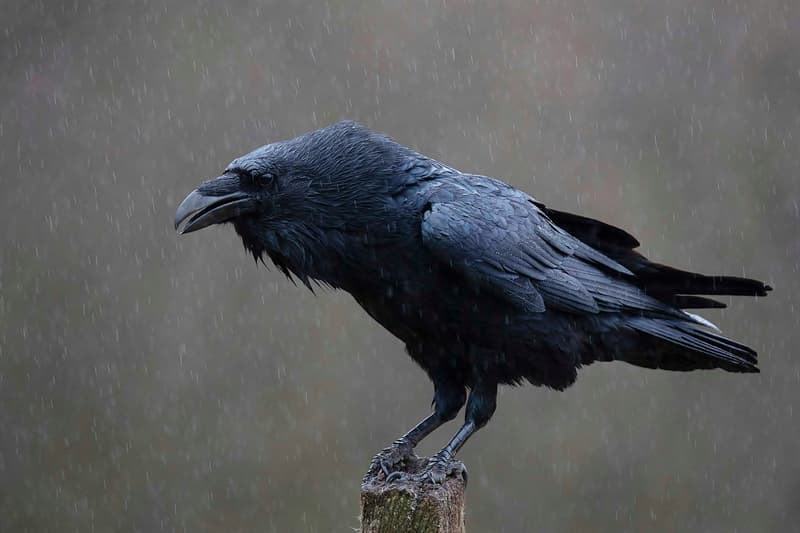 Nature Story: #3 Ravens are highly adaptable