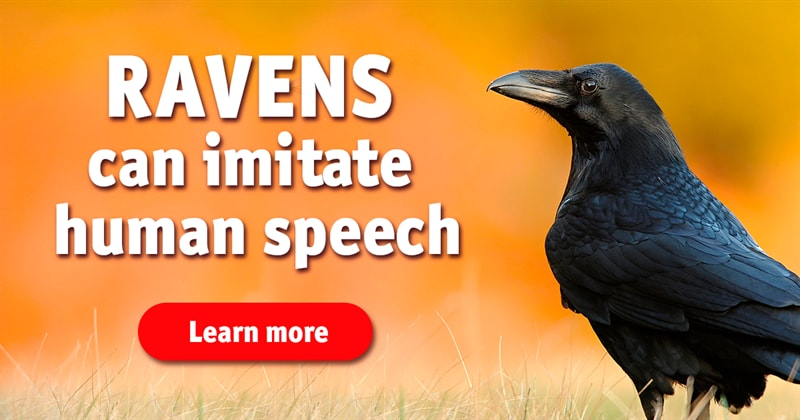 Nature Story: 5 facts about ravens