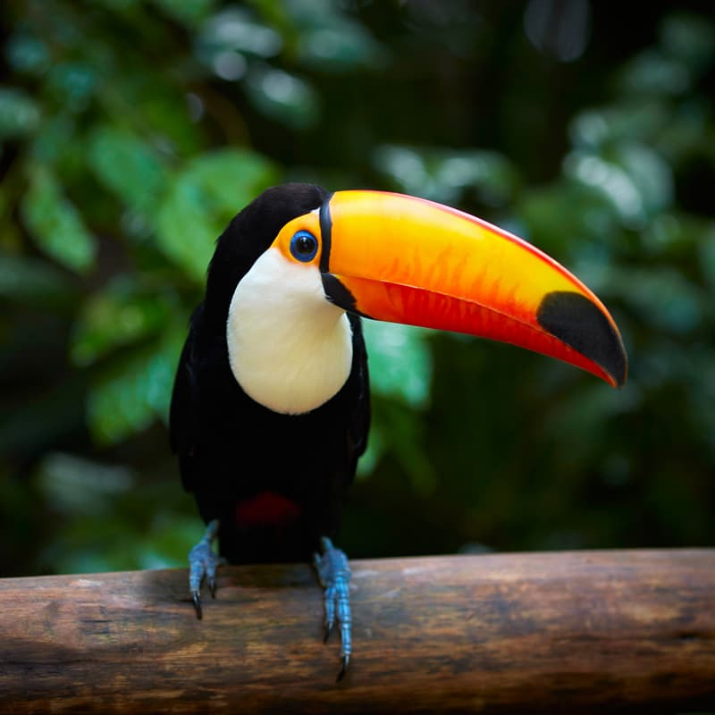 Nature Story: #1 There are 40 different species in the toucan family