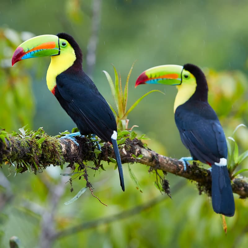 Nature Story: #4 All toucans are native to the Neotropical realm, which includes the tropical regions of the Americas