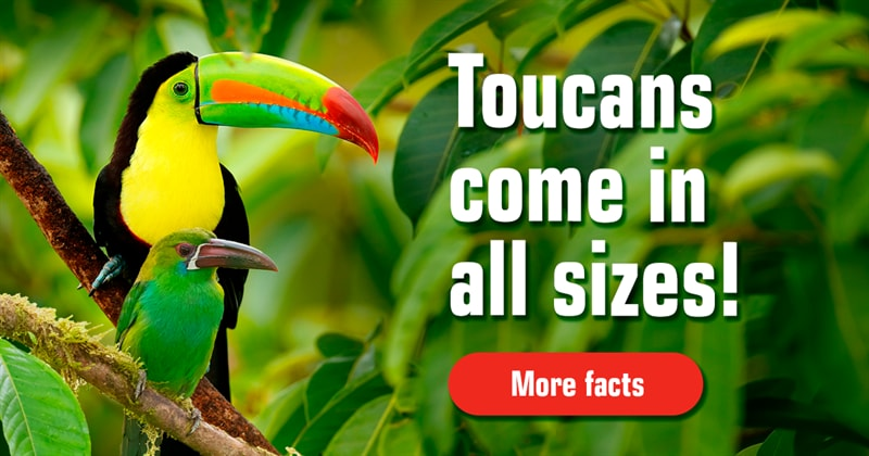 Nature Story: Fascinating facts about toucans (with stunning pictures)