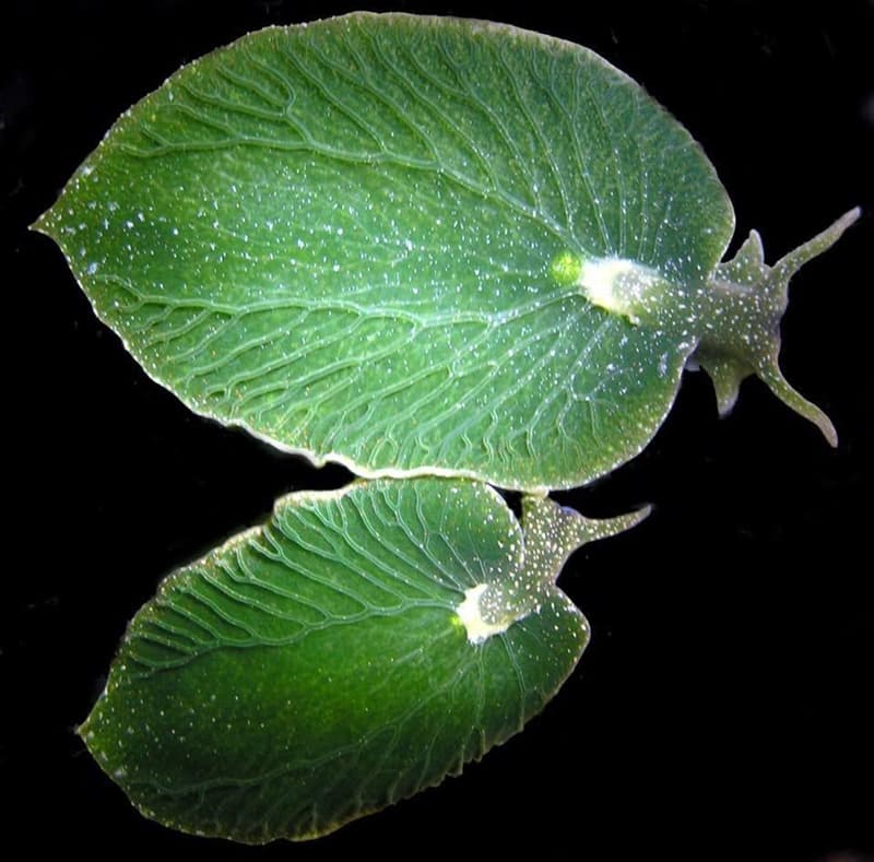 Nature Story: sea slug photosynthesize without eating for nine months surprising nature secret nature secrets of nature amazing nature facts icebreakers for zoom meetings virtual icebreakers fun icebreakers for virtual meetings