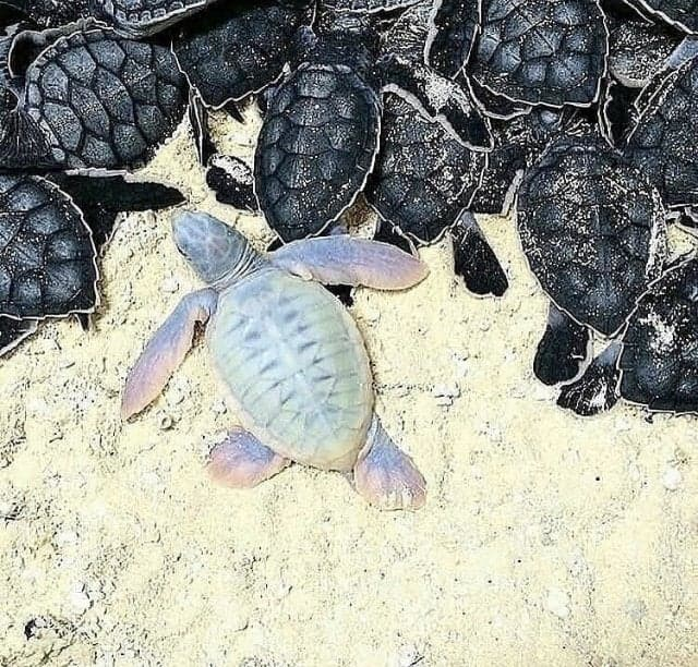 Nature Story: baby albino sea turtle albino animals surprising nature secret nature secrets of nature amazing nature facts icebreakers for zoom meetings virtual icebreakers fun icebreakers for virtual meetings