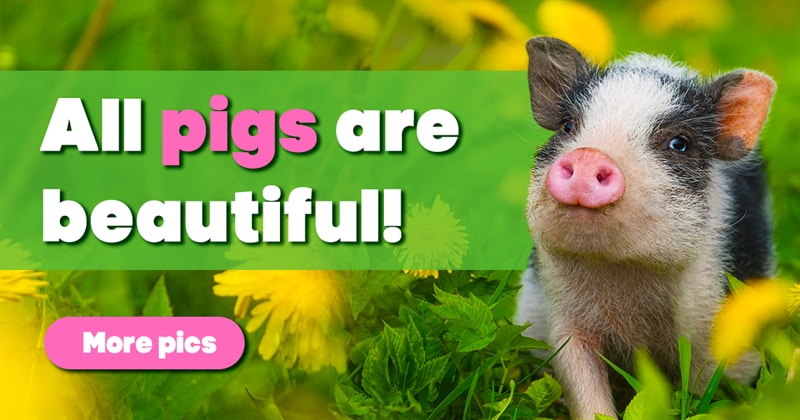 Nature Story: Pigs are incredibly charming animals – and these pictures prove it