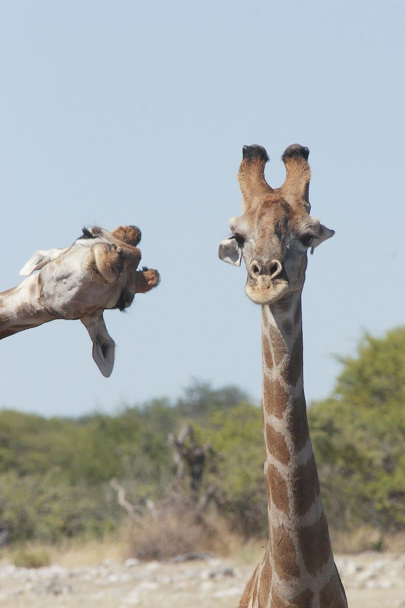 Nature Story: funny giraffes Brigitte Alcalay Marcon photo Photography funny animals funny quiz questions happy birthday funny animals weird animals funny pictures of animals funny photos cool photos 2020 really cool photos download Comedy Wildlife Photography Awards 2020