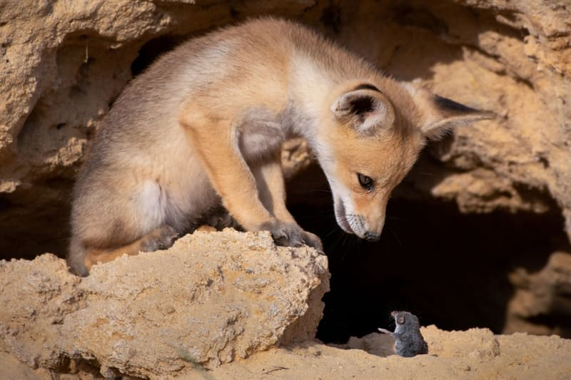 Nature Story: funny foxes funny rodents Ayala Fishaimer photo Photography funny animals funny quiz questions happy birthday funny animals weird animals funny pictures of animals funny photos cool photos 2020 really cool photos download Comedy Wildlife Photography Awards 2020