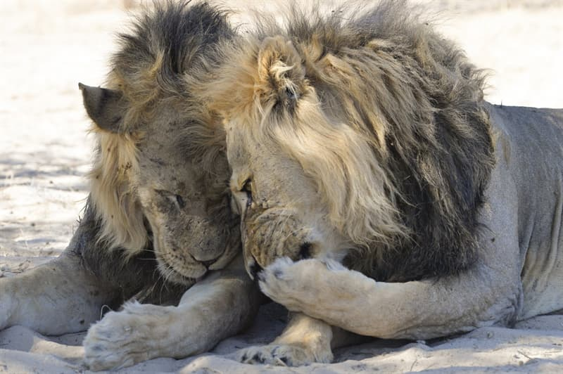 Nature Story: funny lions Bernhard Esterer photo Photography funny animals funny quiz questions happy birthday funny animals weird animals funny pictures of animals funny photos cool photos 2020 really cool photos download Comedy Wildlife Photography Awards 2020