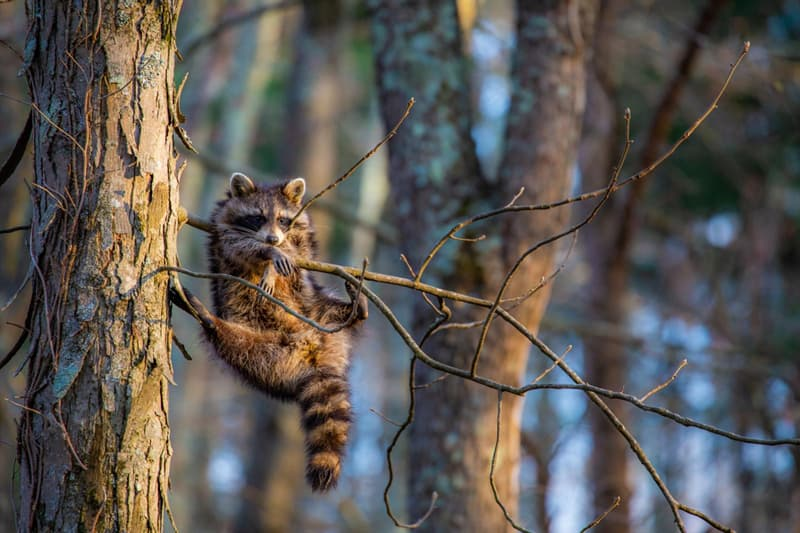 Nature Story: funny raccoons Jill Neff photo Photography funny animals funny quiz questions happy birthday funny animals weird animals funny pictures of animals funny photos cool photos 2020 really cool photos download Comedy Wildlife Photography Awards 2020
