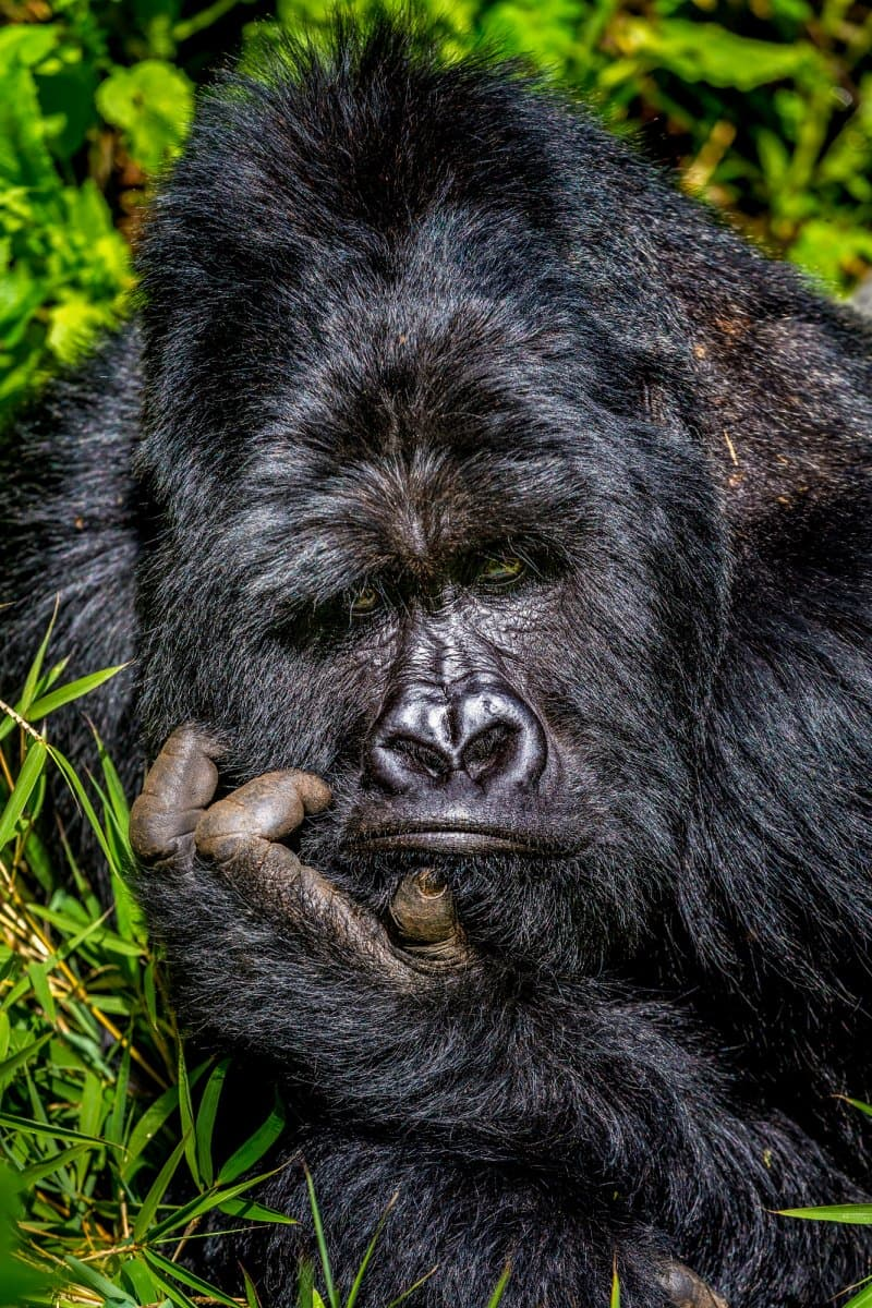 Nature Story: funny gorillas Marcus Westberg photo Photography funny animals funny quiz questions happy birthday funny animals weird animals funny pictures of animals funny photos cool photos 2020 really cool photos download Comedy Wildlife Photography Awards 2020
