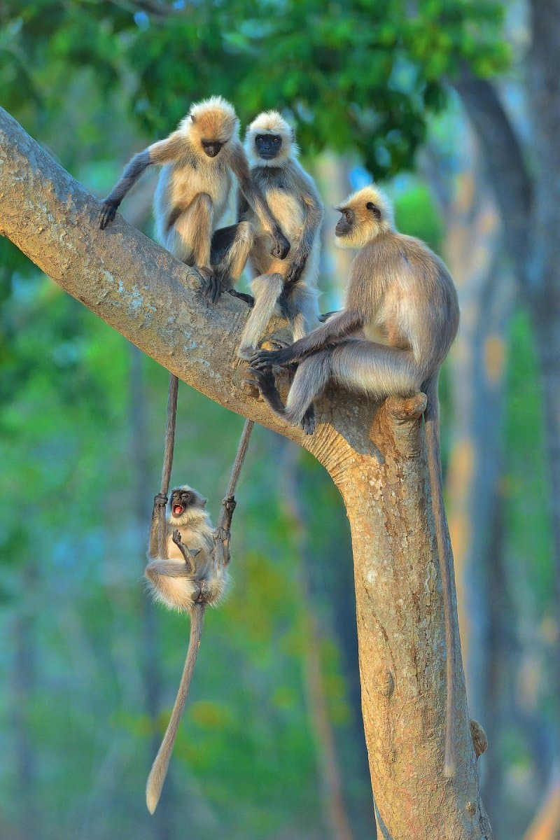 Nature Story: funny monkeys Thomas Vijayan photo Photography funny animals funny quiz questions happy birthday funny animals weird animals funny pictures of animals funny photos cool photos 2020 really cool photos download Comedy Wildlife Photography Awards 2020