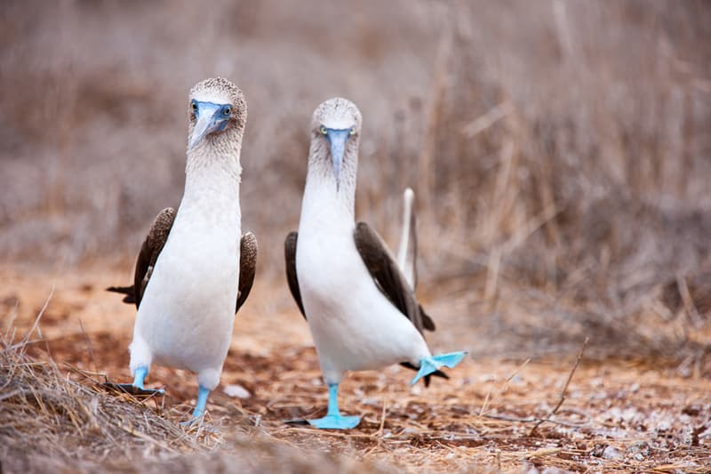 Nature Story: #2 Blue-footed booby
