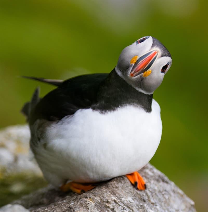 Nature Story: #4 Atlantic puffin