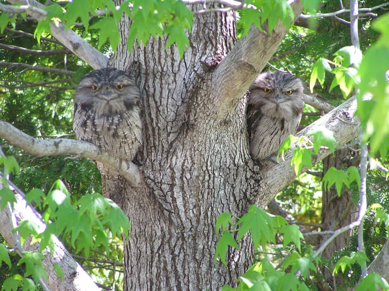 Nature Story: #8 Tawny frogmouth