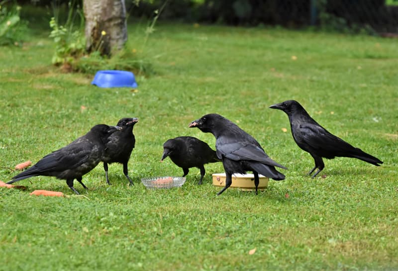 animals Story: unbelievable facts crows crow facts facts about birds family birds