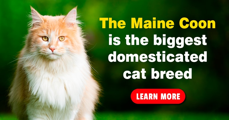 Nature Story: Maine Coon cats – majestic pictures and 5 fun facts