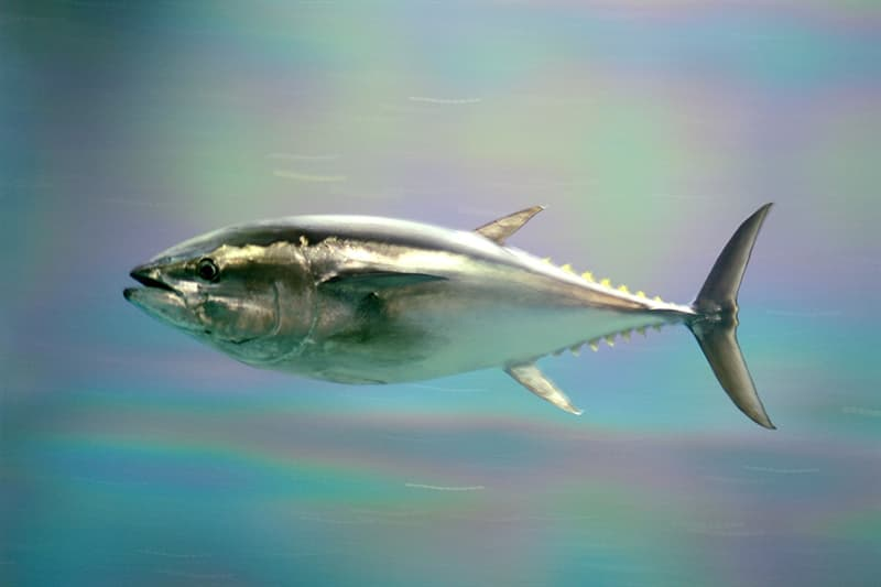 Science Story: #1 Bluefin tuna