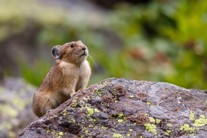 Nature Story: #3 A pika can give birth to 2–5 young