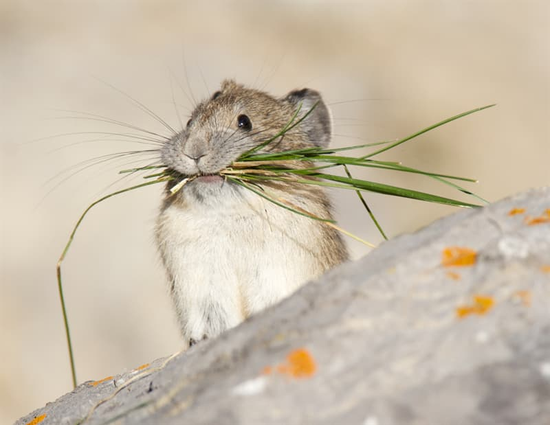 """Nature Story: #4 The pika is also known as the """"whistling hare"""""""
