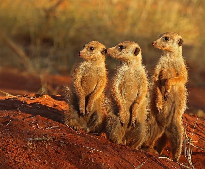 Nature Story: #1 Meerkats