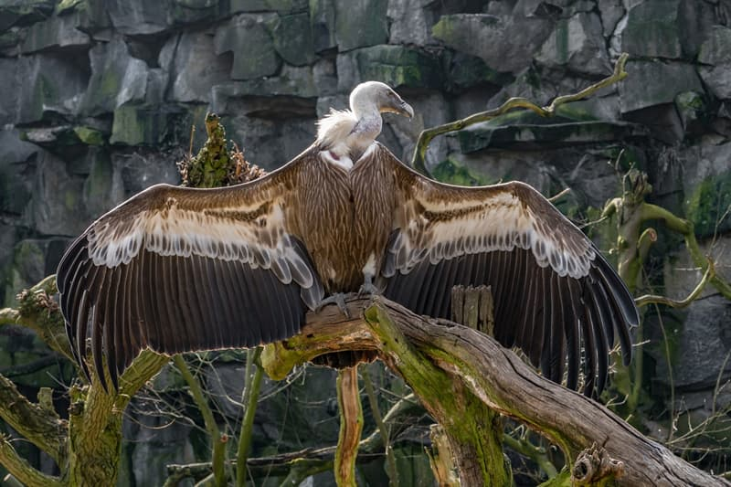 Nature Story: #5 Vultures