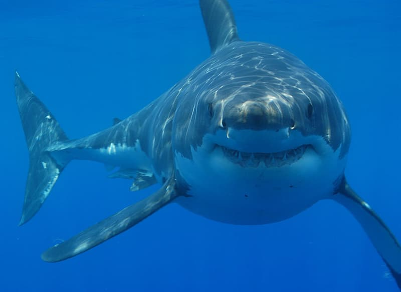 Culture Story: #1 Sharks have existed long before trees